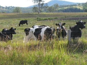 Five minutes from my house- black and white cows!