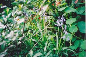 bluebells in Spring at Tarbuck