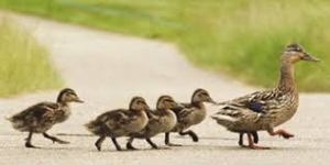 If we can care for ducks, can we not care for each other?