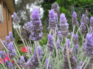 the savour of lavender.