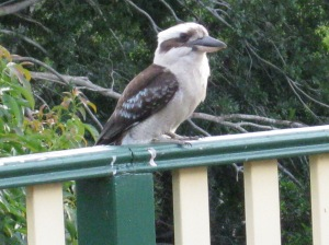 One of my kookaburras yesterday. A simple pleasure and a delight.
