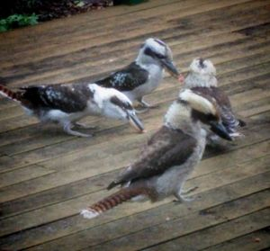 Feed the kookaburras!